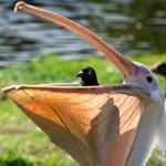 Pelican eats live Pigeon
