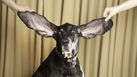 Harbor-Dog-With-The-Longest-Ears-main