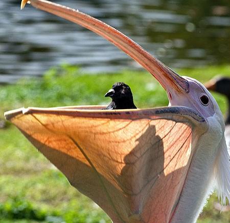 pelican-eats-pigeon-pic-solant-982353141