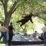 bear falls out of tree - funny