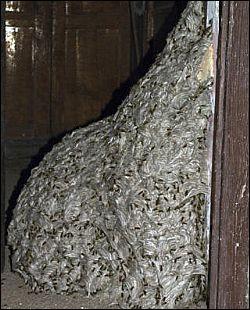 ginat wasps nest