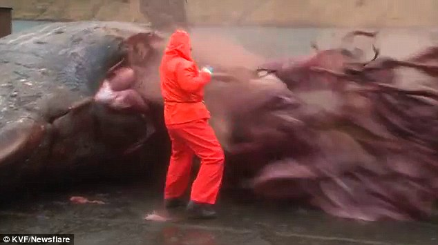 exploding whale freaky video